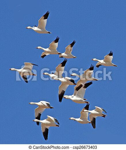 Snow Geese in flight - csp26673403