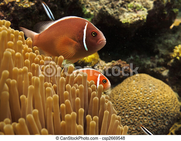 Red Clown Fish on Great Barrier Reef - csp2669548