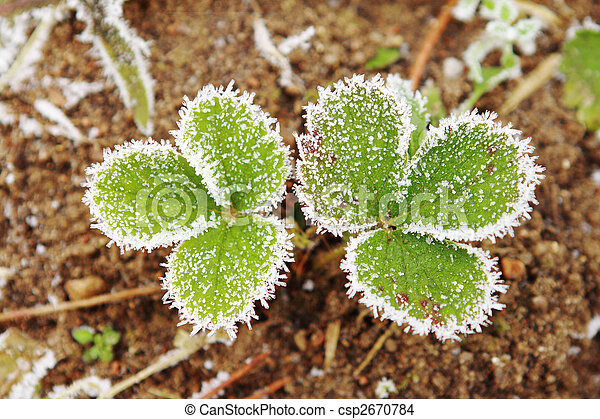 Strawberry leaves covered with frost. - csp2670784