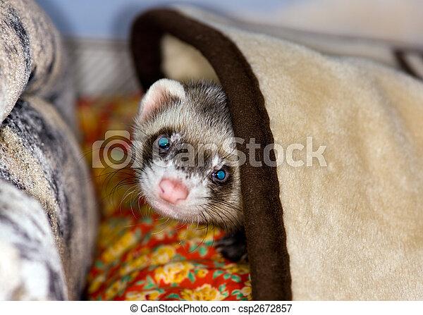 Polecat under a blanket - csp2672857
