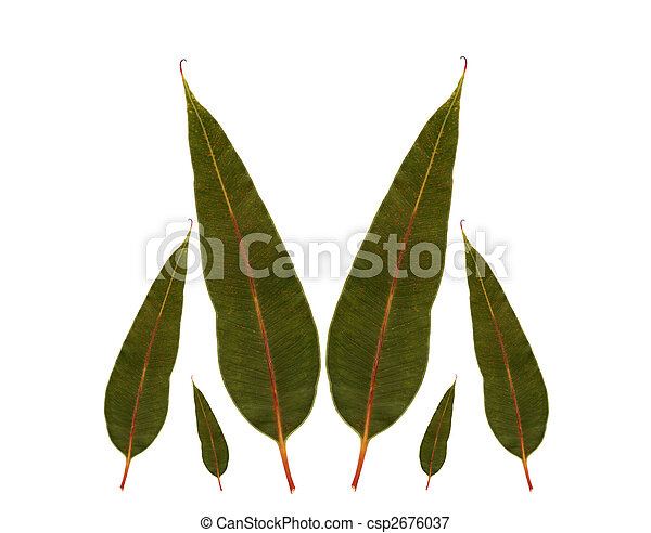 eucalyptus gum leaves australian native plant - csp2676037