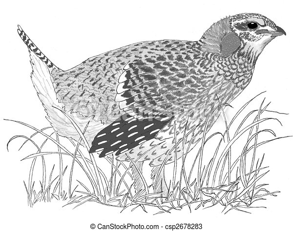 Drawings of Sharp tailed Grouse Tympanuchus phasianellus Pencil
