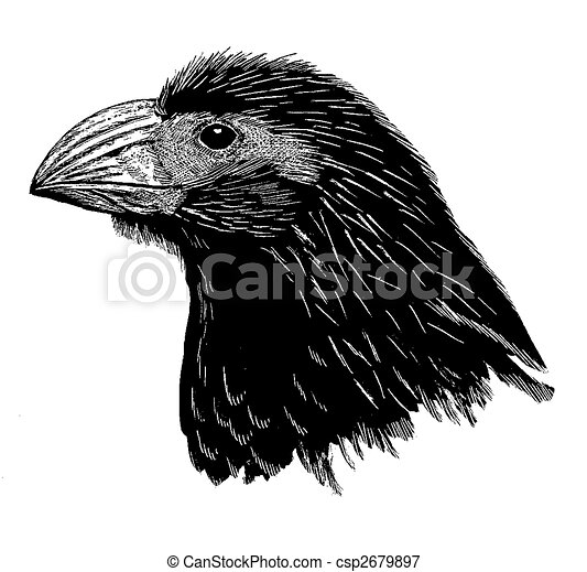 Groove-billed Ani - csp2679897