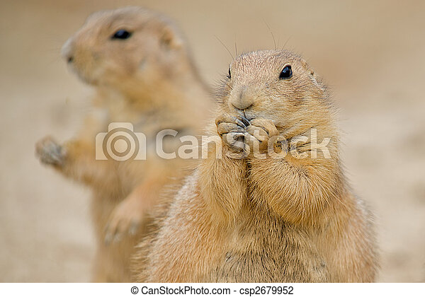 Two Prairie Dogs (Cynomys).  The mammal in the forground is nibbling on some food with his paws up to his mouth. - csp2679952