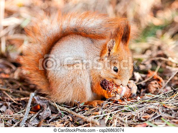 Red squirrel gnaws cone fir