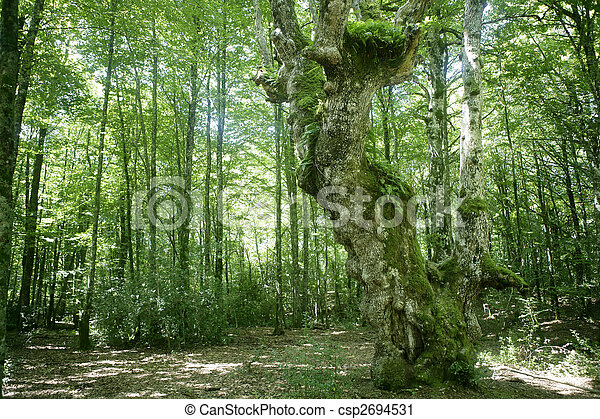 Beech green magic forest woods - csp2694531