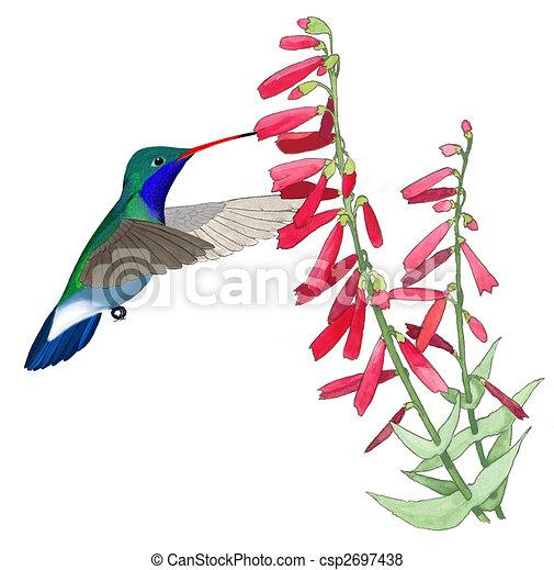 Broad-billed Hummingbird - csp2697438