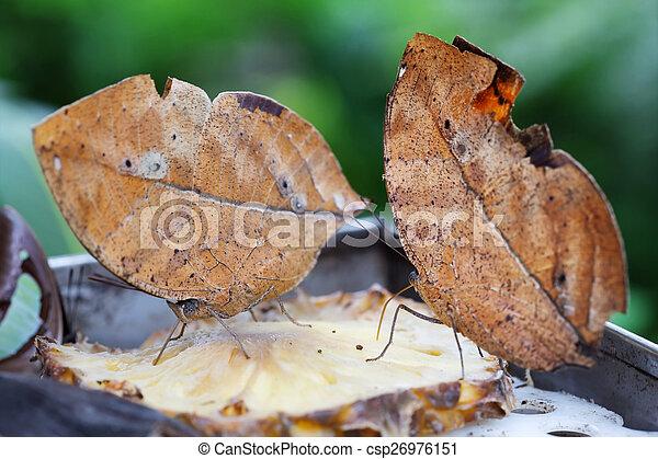 two oak leaf butterflies on a slice of pineapple