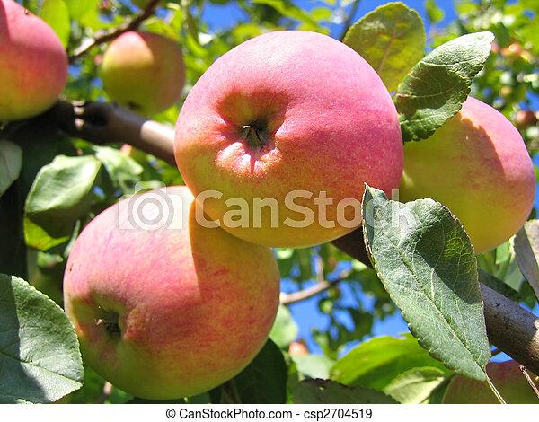 ripe apples on apple tree - csp2704519