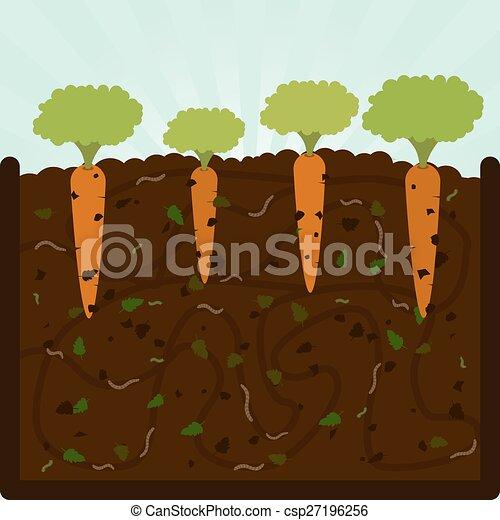 Carotte plantation