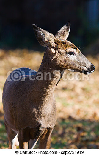 White-tailed doe (Odocoileus virginianus). - csp2731919