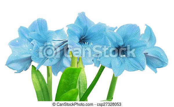 Images de amaryllis bleu amaryllis fleur isol sur for Amaryllis taille