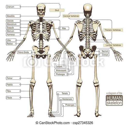 A diagram of the human skeleton - csp27345326