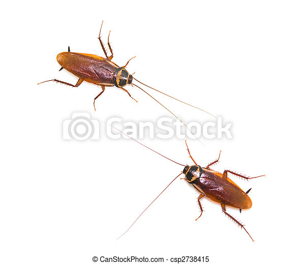 Two isolated cockroach on white background - csp2738415