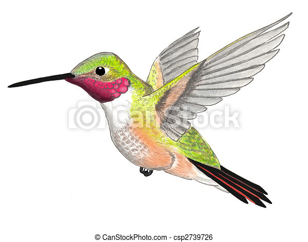 Broad-tailed Hummingbird - csp2739726