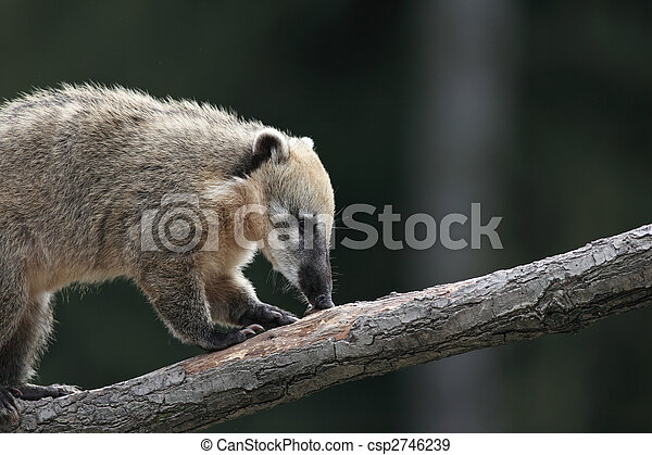 Close-up portrait of a very cute White-nosed Coati (Nasua narica) aka Pizote  or Antoon. Diurnal, omnivore mammal - csp2746239