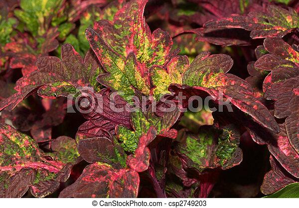 Coleus Plants - csp2749203