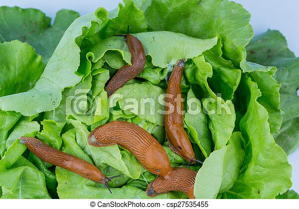 Stock im genes de lechuga hoja caracol un babosa en for Caracol de jardin alimentacion
