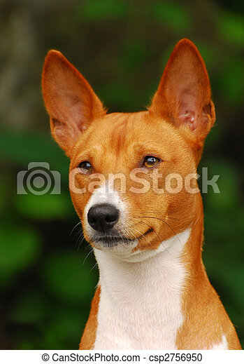 The Basenji is a breed of hunting dog that was bred from stock originating in central Africa. Most of the major kennel clubs in the English-speaking world place the breed in the Hound Group; more spec - csp2756950