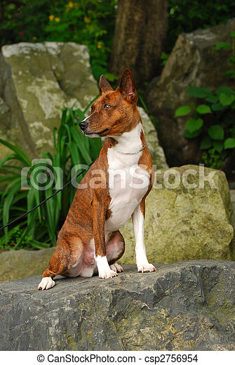 The Basenji is a breed of hunting dog that was bred from stock originating in central Africa. Most of the major kennel clubs in the English-speaking world place the breed in the Hound Group; more spec - csp2756954