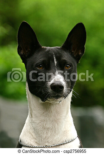 The Basenji is a breed of hunting dog that was bred from stock originating in central Africa. Most of the major kennel clubs in the English-speaking world place the breed in the Hound Group; more spec - csp2756955