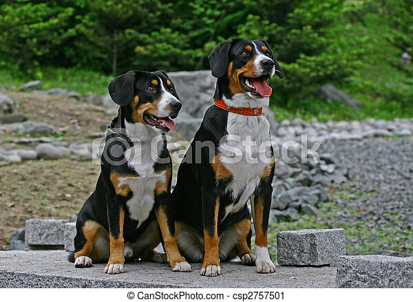 The Appenzeller Sennenhund is a medium-size breed of dog, one of the four regional breeds of Sennenhund-type dogs from the Swiss Alps. The name Sennenhund refers to people called Senn, herders in the - csp2757501
