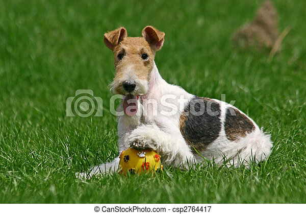 The Wire Fox Terrier is a breed of dog, one of many terrier breeds. It is an instantly recognizable fox terrier breed. Although it bears a resemblance to the Smooth Fox Terrier, they are believed to h - csp2764417
