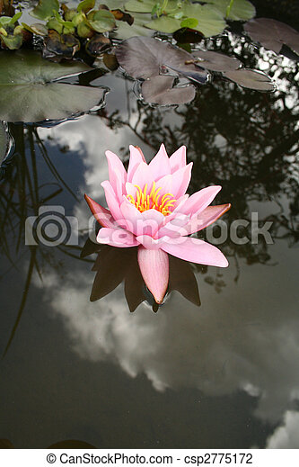water lily flower - csp2775172