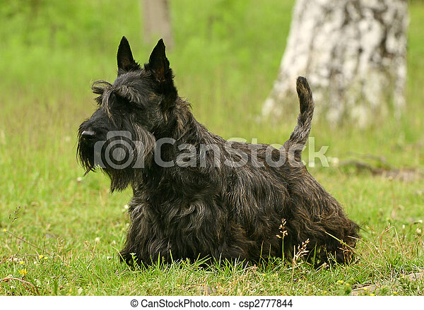 The Scottish Terrier (also known as the Aberdeen Terrier), popularly called the Scottie, is a breed of dog best known for its distinctive profile and typical terrier personality. - csp2777844