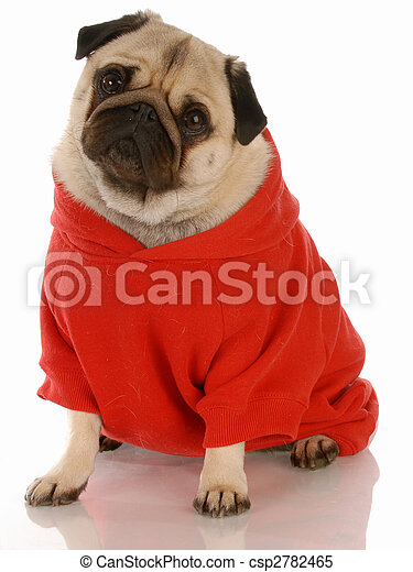 fawn pug wearing red dog sweater with reflection on white background - csp2782465