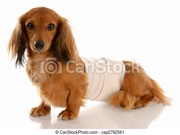 veterinary care - miniature dachshund with medical bandage around waist - csp2782561