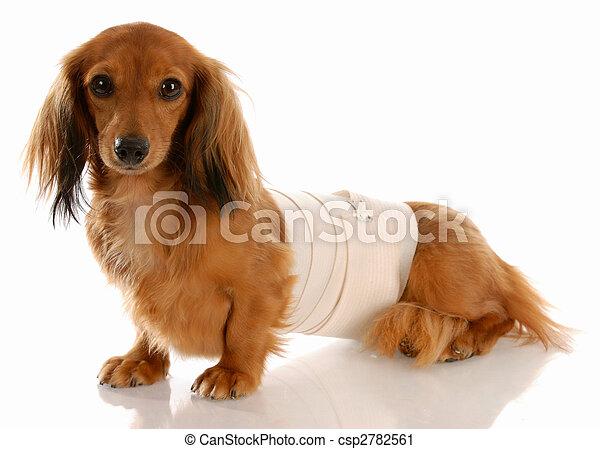 veterinary care - miniature dachshund with medical bandage around waist - csp2782561