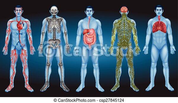 Internal organs - csp27845124