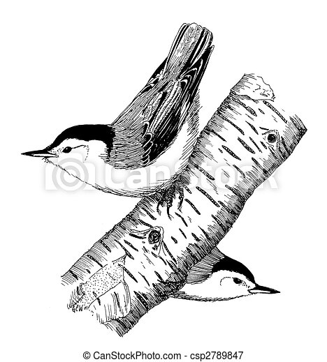 White-breasted Nuthatch pair - csp2789847