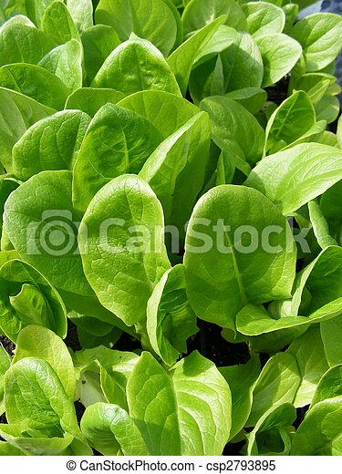 Little gem lettuce - csp2793895