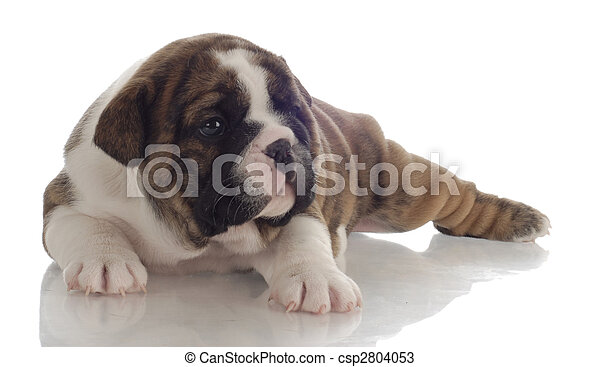 brindle and white english bulldog puppy - 4 weeks old - csp2804053