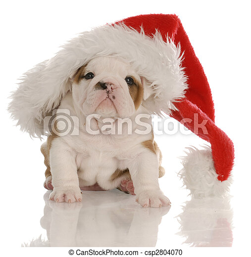 Stock Photography of four week old english bulldog puppy dressed ...