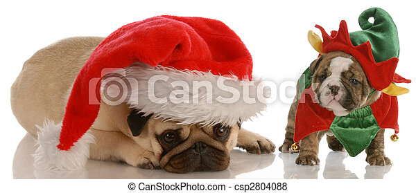 santas helpers - pug dressed as santa and english bulldog puppy dressed as elf - csp2804088