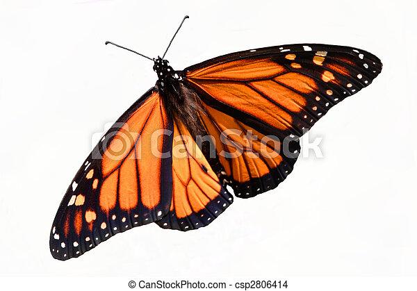 Monarch Butterfly (danaus plexippus) Isolated - csp2806414