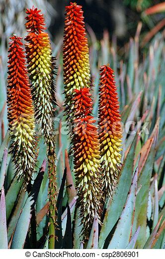Photographies de orange succulent plante fleurs alo s for Plante orange