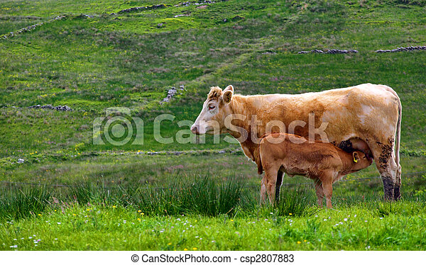 calf cow feeding in a rural countryside farm - csp2807883