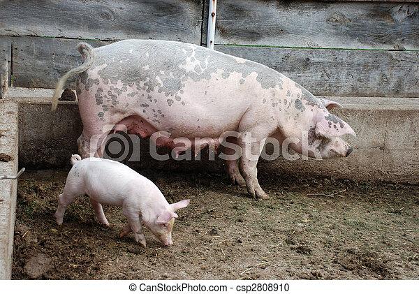 豚の画像 p1_32