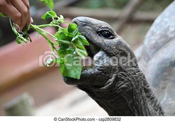 Stock foto van reus galapagos schildpad eet spinazie zanzibar eiland csp2809832 zoek - Centraal eiland om te eten ...