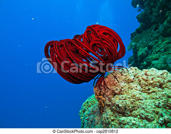 Long Red tentacles on sea creature on coral reef  in Great Barrier Reef Australia - csp2810812