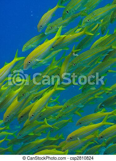 Yellowtail  fish on Great Barrier Reef Australia - csp2810824