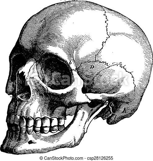 Skeleton of the human head, vintage engraving. - csp28126255