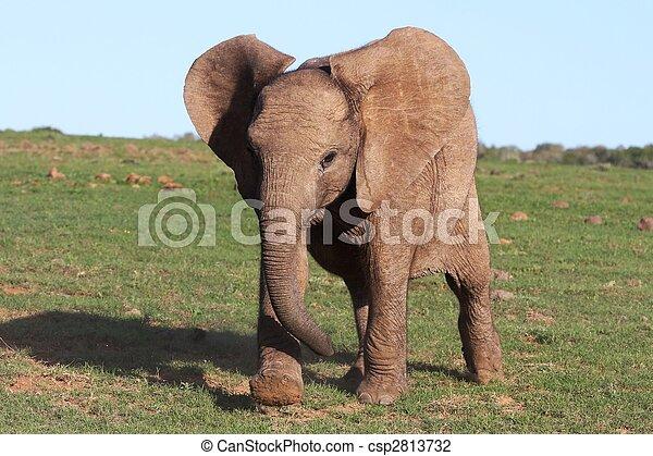 baby, afrikanisch, elefant - csp2813732
