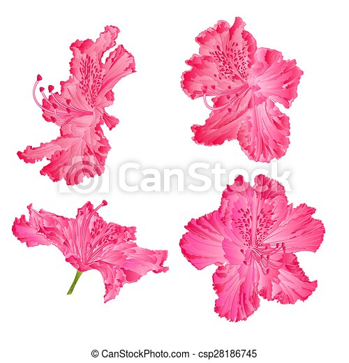 Pink Rhododendron Drawing Blossoms Pink Rhododendron