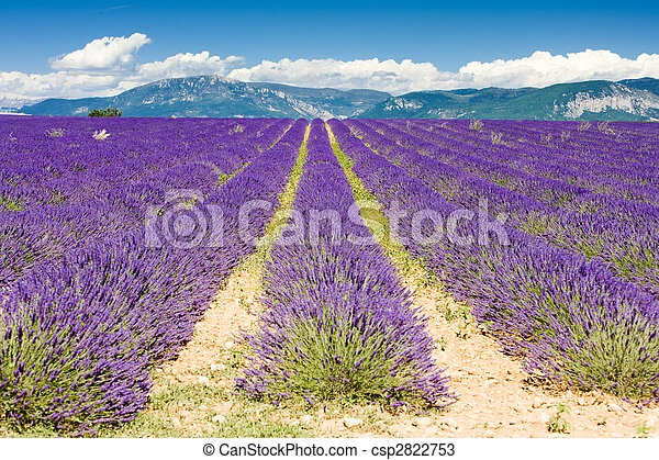 lavender field, Plateau de Valensole, Provence, France - csp2822753