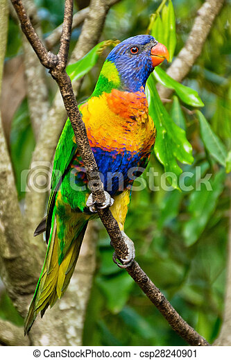 Rainbow Lorikeet,Australia - csp28240901